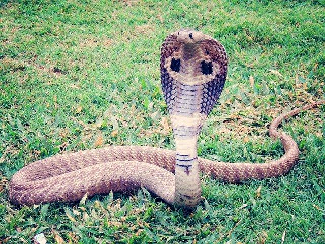 Злая кобра